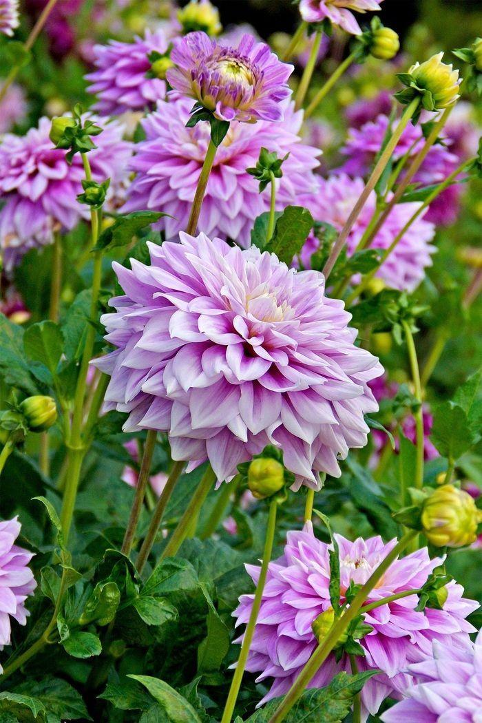 Осенние цветы в саду (65 фото с названиями): как превратить ваш сад в райский уголок http://happymodern.ru/osennie-cvety-v-sadu-foto-i-nazvaniya/ Пепельно-фиолетовые георгины