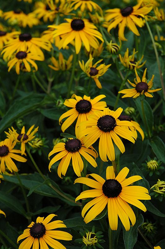 Indian Summer Coneflower (Rudbeckia hirta
