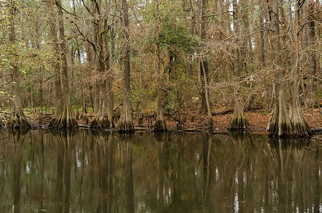 One of several ponds at Jesse H Jones Park lined by bald cypress trees.