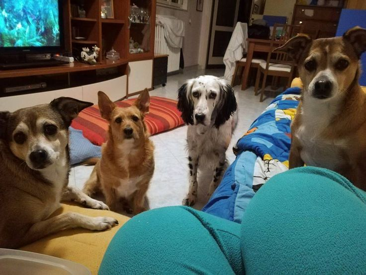Sì ma questi biscotti... ce li dai o no?! Foto di: @manuelapetsitter  #BauSocial  Io voi e i biscotti! #stalking #iotiguardo #sguardi #obsessed #golosità #mangiarebiscotto #biscotto #cookies #cani #dogs #dogsofinstagram #instadog #instasetter #instapatch #setterlove #setterlovers #meticci #luna #stella #kira #patch #setterisbetter #setteringlese #canidacaccia #bellovero #tiamo #animali #cani #amoilmiocane