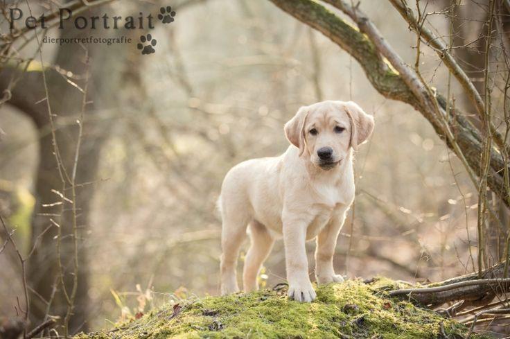 Labrador Freyja in het bos - Meijendel Wassenaar-6