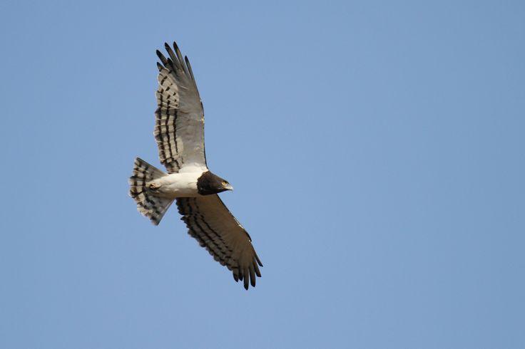 Black-chested Snake Eagle in flight