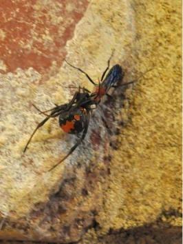 Tiny enemy of venomous spider identified - UPI.com