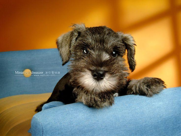 Mini Schnauzers!: Mini Schnauzer, Dogs Pet, Miniature Schnauzer Puppies, Animals Schnauzers Wildlife, Minis Schnauzers Puppies, Miniatures Schnauzers Puppies, Baby, Schnauzer Puppy, Watches Dogs