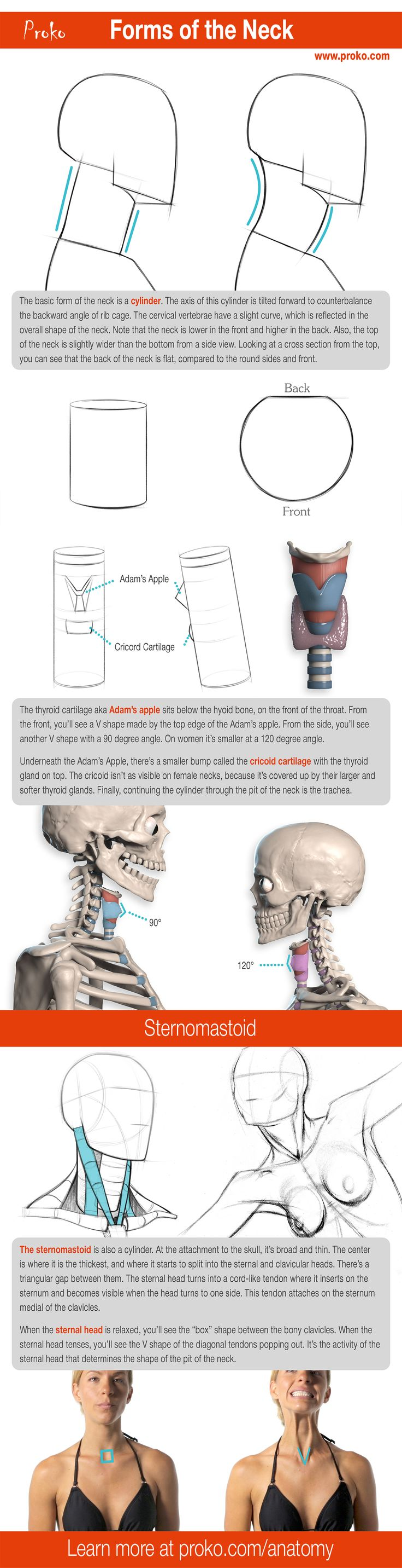 52 best Anatomy for Artists images on Pinterest