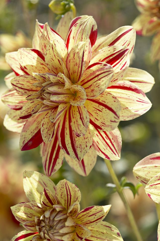 Named after the botanical author Anders Dahl, dahlias are a popular garden plant for several reasons.