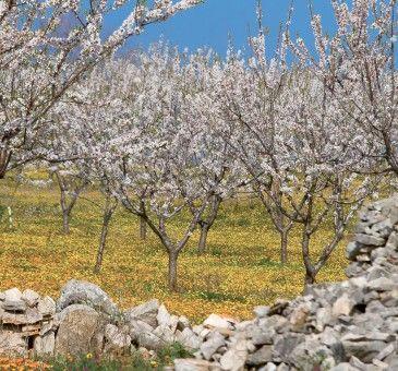La mandorla, un frutto antichissimo  #mandorla #almond #almonds #fruit #nuts #fruttaebacche #food #wellness