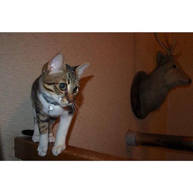 🌙 ギンジ with シカノハクセイ #猫 #愛猫 #何か狙ってそうな目してる #鹿の剥製 #昔はこの剥製怖くて嫌いだった 🙄