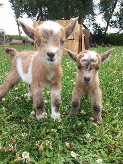 Baby goats. Blonde coats and Blue eyes. Albinus and Louis?