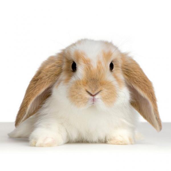 Cuidados del conejo belier #ExpertoAnimal #MundoAnimal #ReinoAnimal #Animales #Naturaleza #Granja #AnimalesdeGranja #AnimalesDomésticos #ConejoBelier #conejos