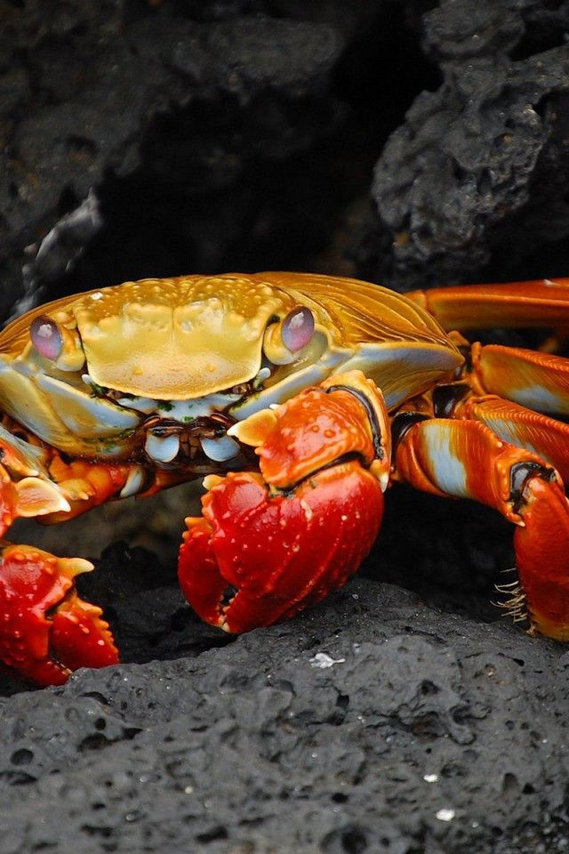 how to clean red rock crab