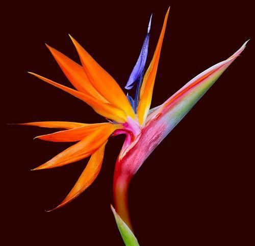 Fiore del Paradiso.