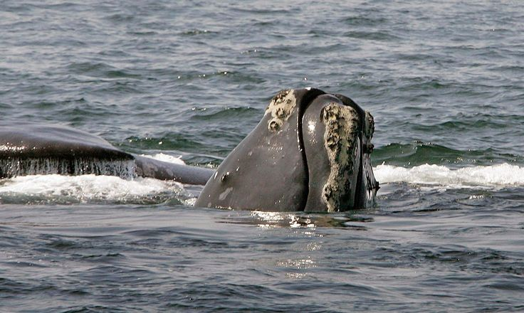US, Canada to Investigate Deaths of Endangered Whales