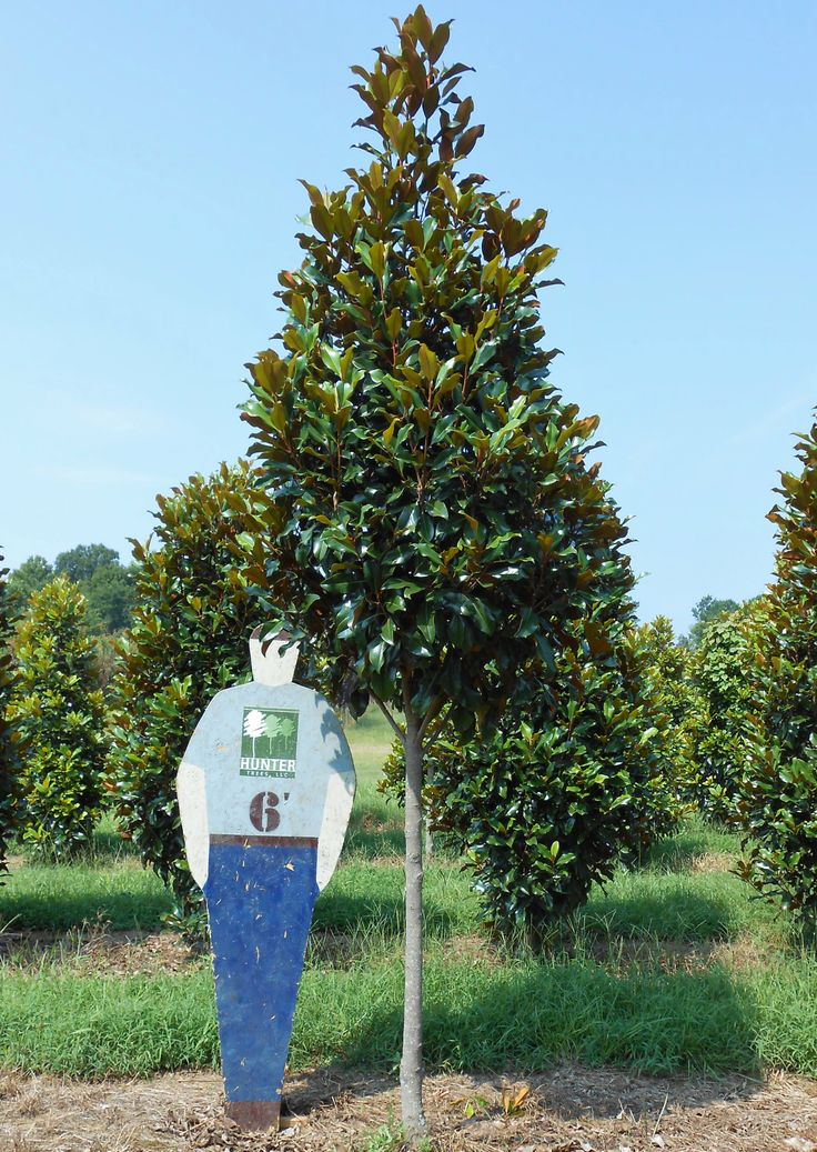 Brackens Brown Beauty Southern Magnolia Excellent