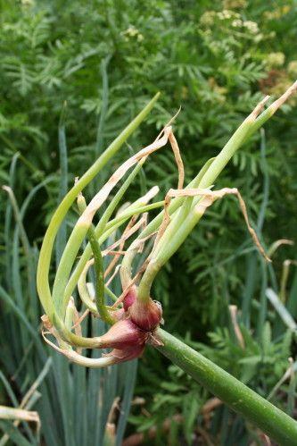 LES LEGUMES PERPETUELS : Voici une curieuse façon de cultiver un potager mais que les futés du jardinage adopteront volontiers. Parmi les légumes, un certain nombre peuvent survivre plusieurs années et continuer à produire pendant de longs mois. Plus besoin de labourer, semer...