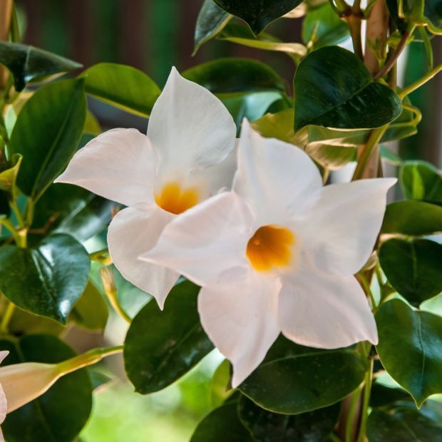 Dipladenia Sundaville Blanc Mandevilla Balcony Plants House Plants Flowering House Plants