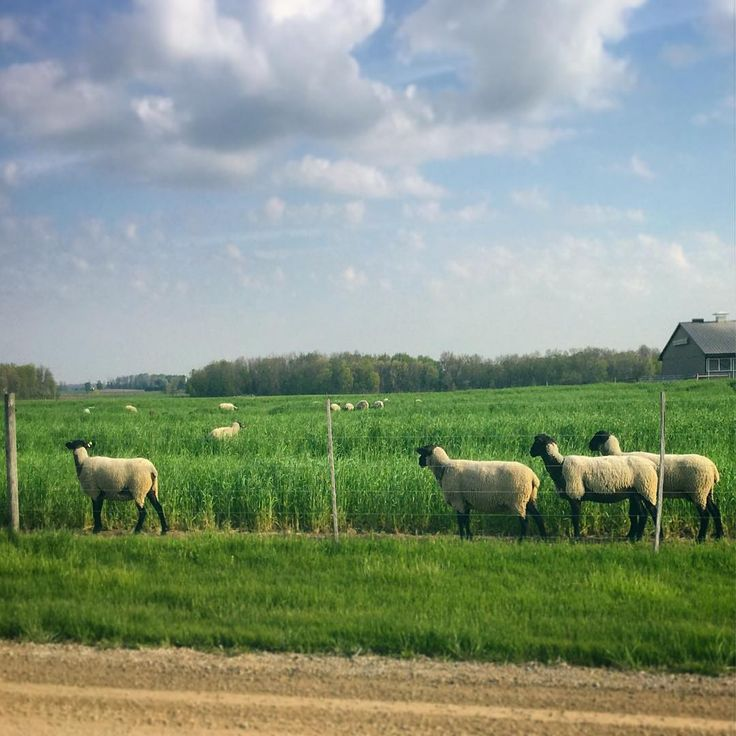 Big fluffy clouds and little lambs make our morning commutes extra special in the spring. ☁️☀️☁️ -