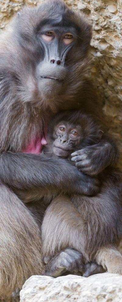 2a4a7871f9af883d1af5ceec562730b2 baby animals wild animals best 25 dead gorilla ideas on pinterest gorilla wallpaper, ape,Dead Monkey Meme