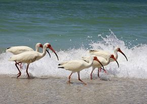 """White Ibis ~ 23-27"""" (58-69 cm). W. 3'2"""" (97 cm). Adult white with black wing tips (usually hidden at rest); bare face and down-curved bill are red; legs red in breeding season, otherwise slate-gray. Immatures brown above and white below, with brown bill and legs. Voice: Grunts and growls."""