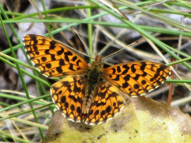 Violet Fritillary 1, Rhone Valley, VS, 10.07.17