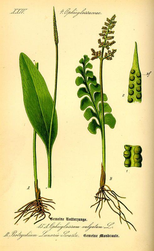 Botrychium lunaria -- Flora von Deutschland Österreich und der Schweiz (1885)