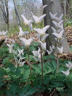Dutchman's Breeches for woodland flower bed
