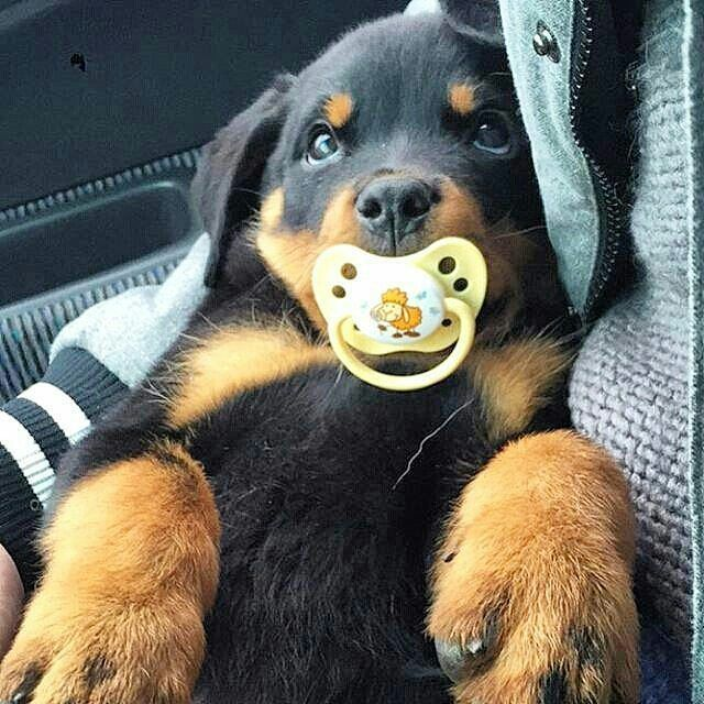 Rottweiler baby