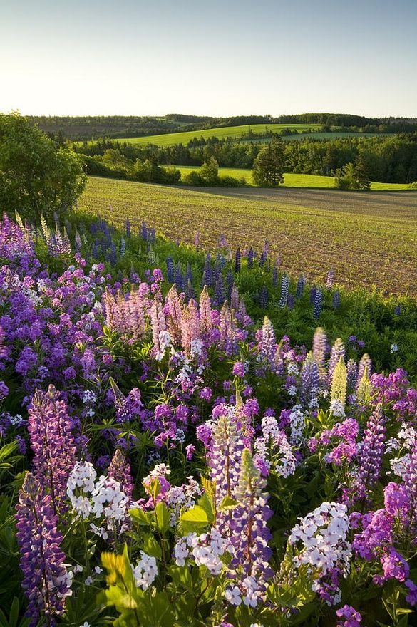 Lupins and phlox flowers, Clinton, Prince Edward Island by John Sylvester.