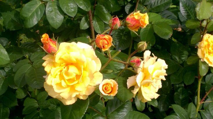 Elokuussa ruusutarha on kauneimmillaan.