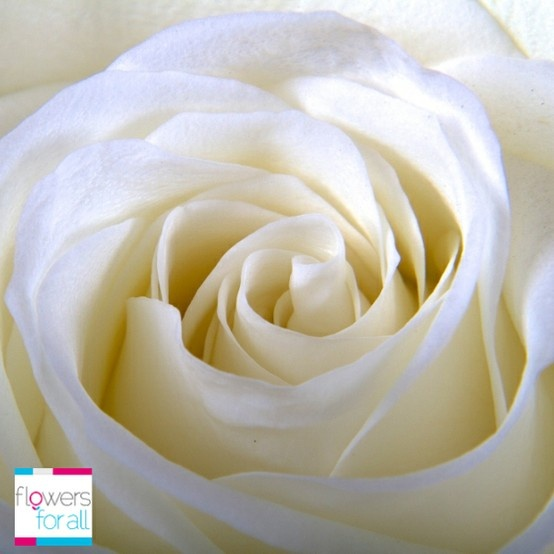 Symbol of innocence and purity... nothing better than the white roses from flowersforall.com