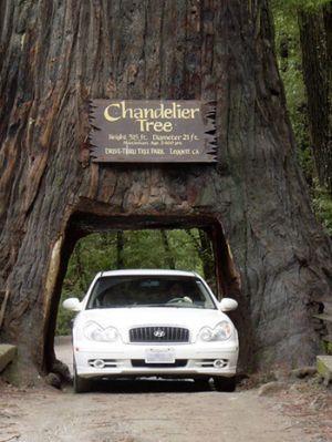 drive through tree - Chandelier Tree  Leggett, CA