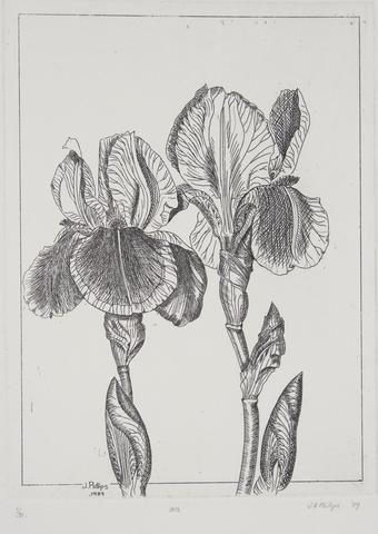 Jenny Phillips 'Iris' - Etching on paper
