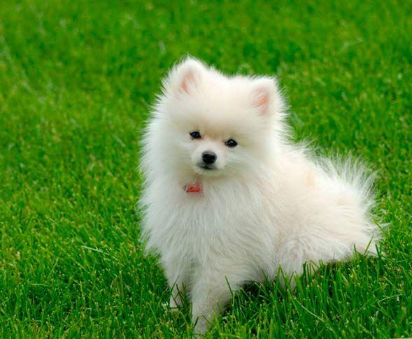 Застойная сердечная недостаточность для владельцев животных