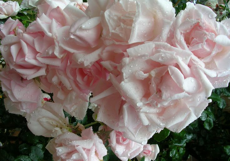 This rose covers an archway and is loaded with roses - New Dawn Rose