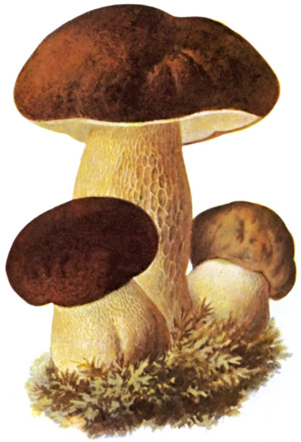 Glanzbilder - Victorian Die Cut - Victorian Scrap - Tube Victorienne - Glansbilleder - Plaatjes : Pilze - mushrooms - champignons