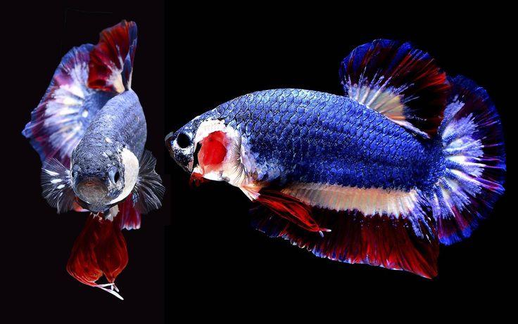 Um peixe betta nada num aquário em Nakhon Pathom, Tailândia. Ele foi leiloado pelo preço recorde de 53.500 bahts (R$ 5.150), após fotos postadas pela casa de leilão no Facebook fazerem sucesso no país devido às cores, as mesmas da bandeira tailandesa