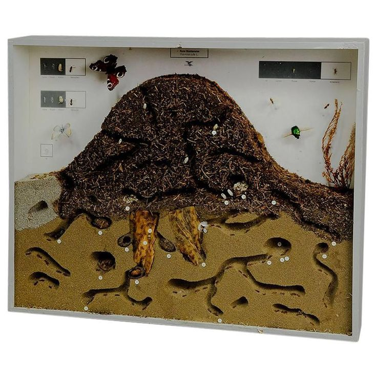 School Teaching Display Anthill of the Red Wood Ant Showcase | 1stdibs.com