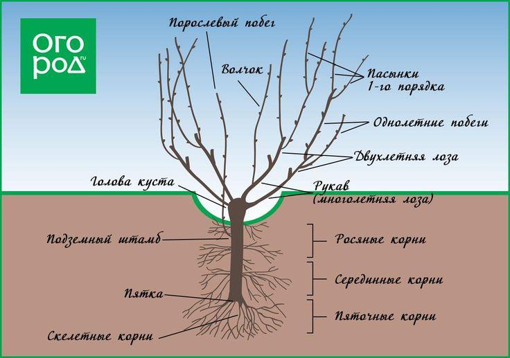 Обрезка винограда схема