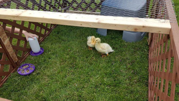 My duckies