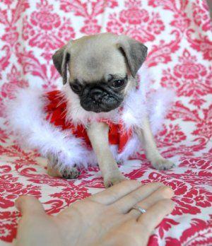toy pug puppy, O.....M....G.....! So cute!