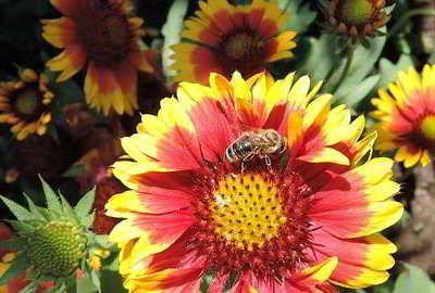 Bienenfreundliche Pflanzen sind zum Beispiel