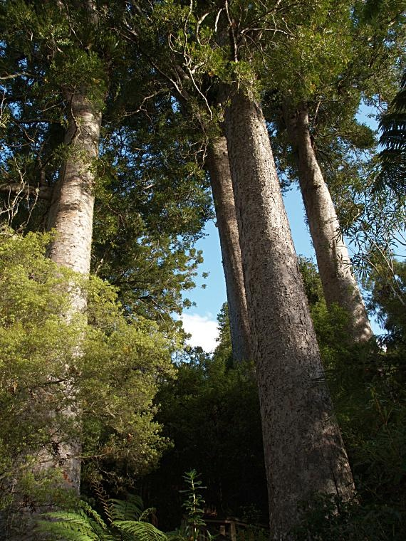 Magnificent Native Giants, Kauri Trees, Northland, New Zealand -- these fern trees once covered both islands of New Zealand.