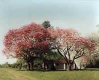 "Irene Caravatti - ""Lapachos blancos... lapachos rosados"" acrílico, 40 x 70 cm"