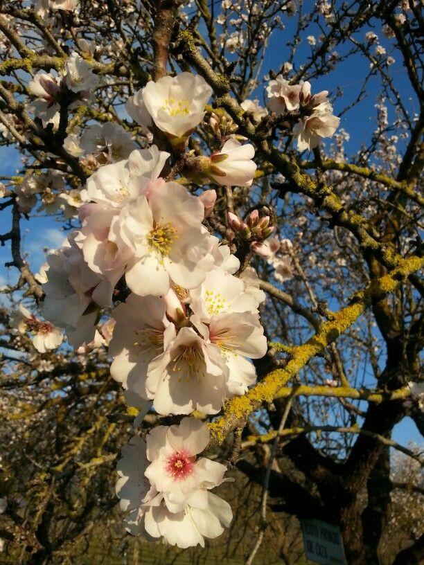 Mandelträd i blom