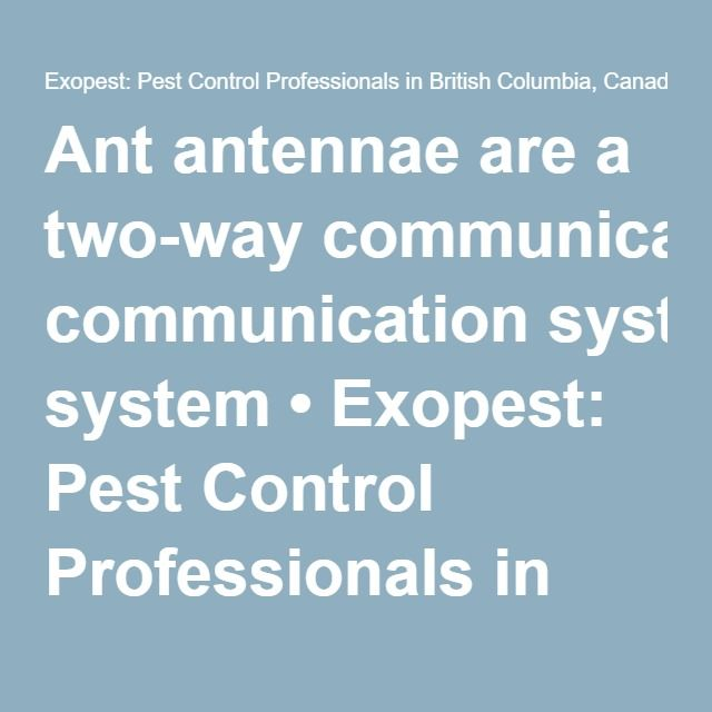 Ant antennae are a two-way communication system • Exopest: Pest Control Professionals in British Columbia, Canada