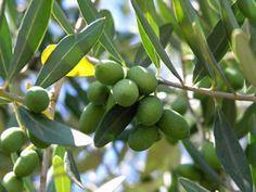 Olivenbaum Pflege