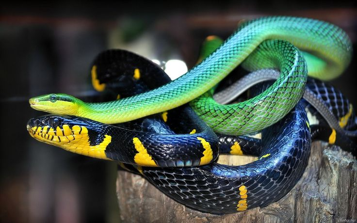Snake Computer Wallpapers Amazing Wallpaperz 1799×1231 Snake Image Wallpapers (44 Wallpapers) | Adorable Wallpapers