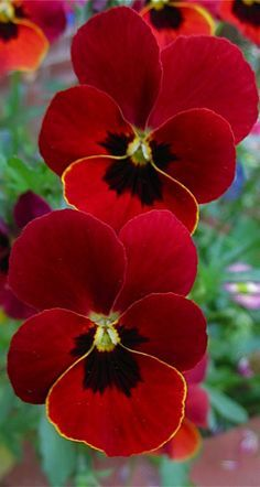 Gardens and Flowers: Red Pansies