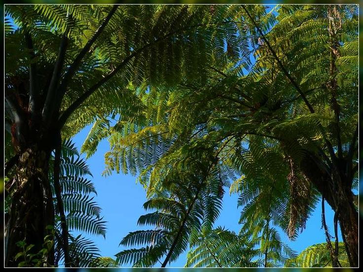 Google Image Result for http://grahamenz.com/albums/Flora/Trees/Tree%2520Fern/Mamaku/Mamaku,%2520Cyathea%2520medullaris%2520GNZ1520244.JPG