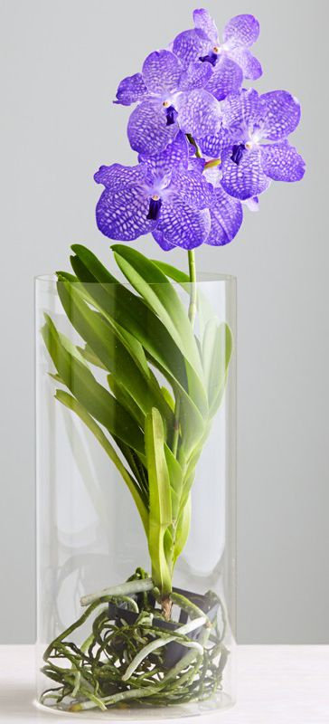 Rare Blue Vanda Orchids                                                       …                                                                                                                                                                                 More